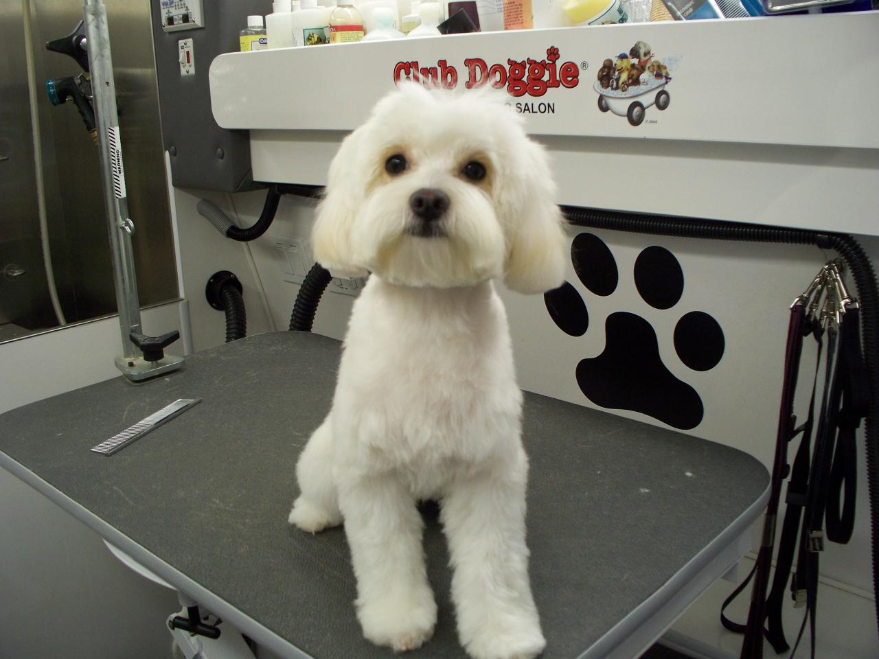 Maltipoo Haircuts Images & Pictures - Becuo