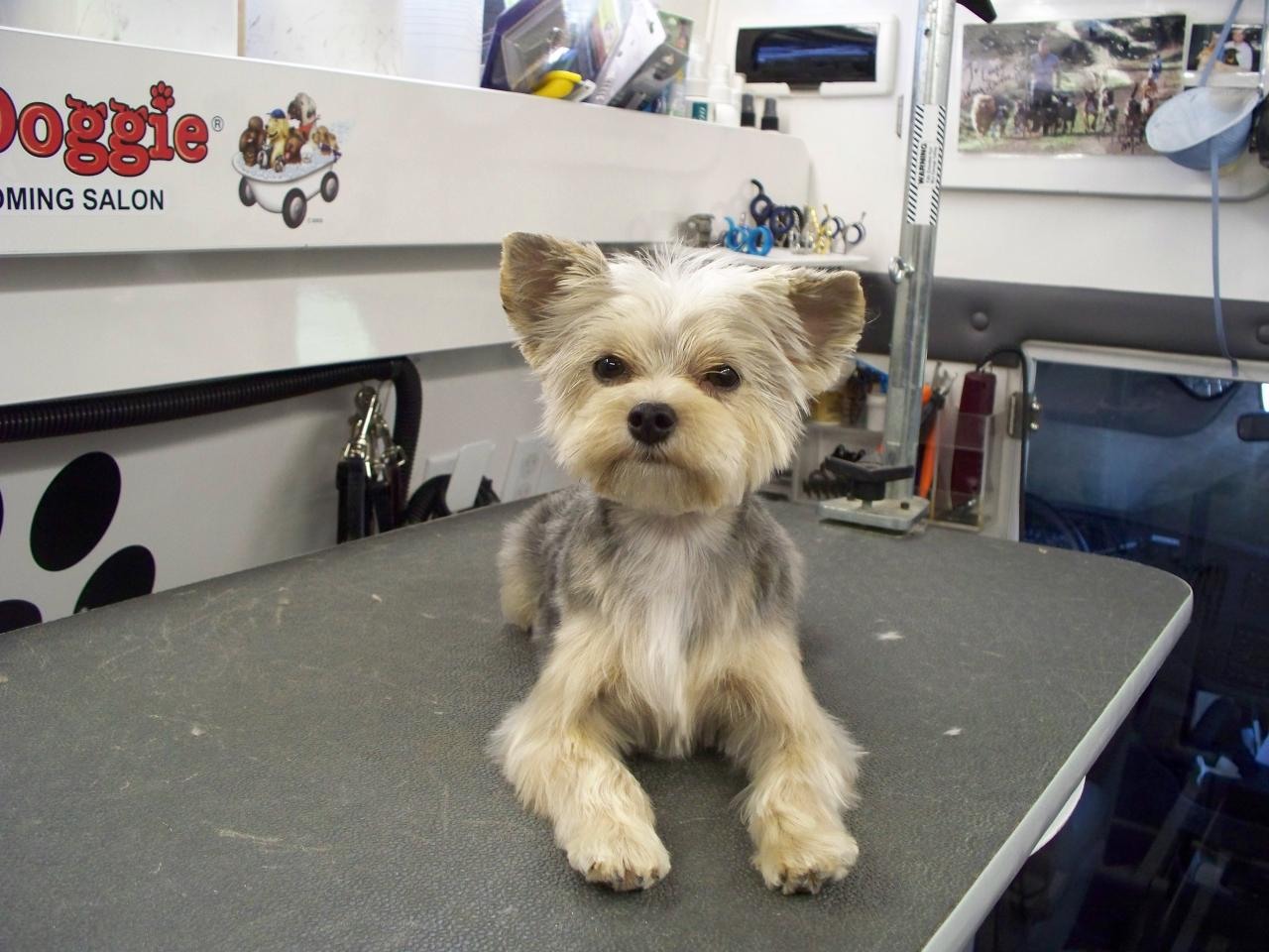 Morkie Grooming Before and After