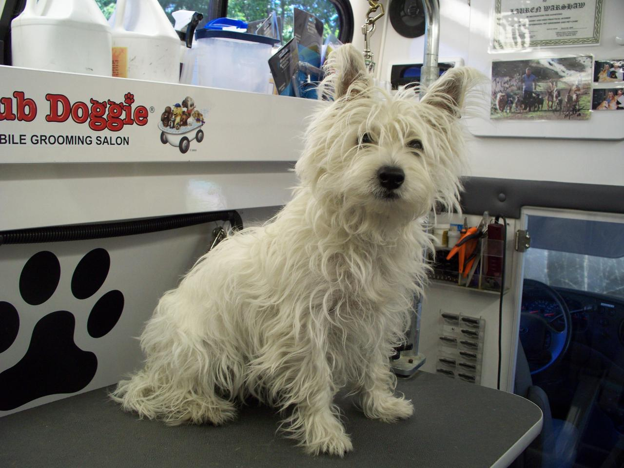 West Highland Terrier Mix