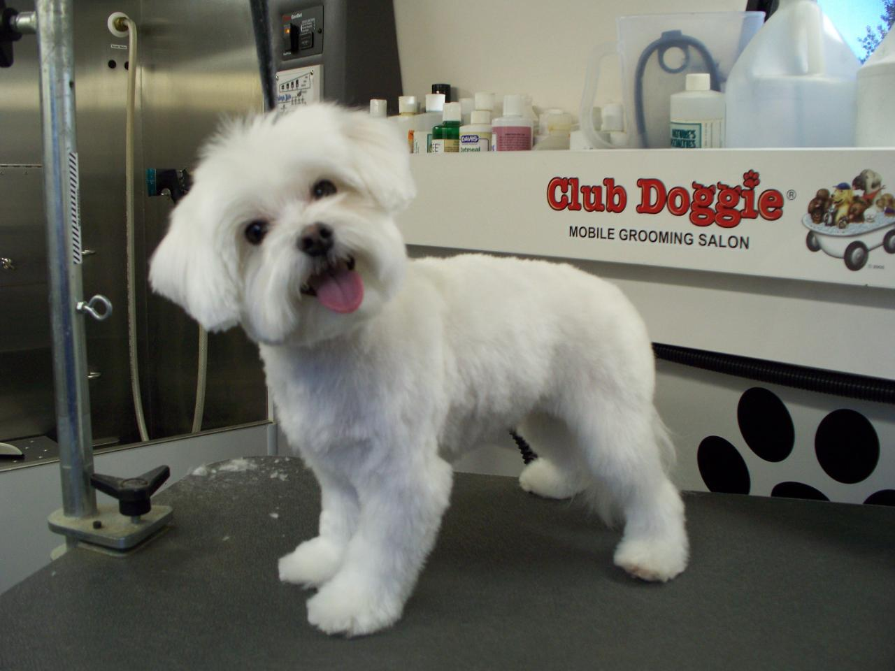 Club doggie mobile grooming salon before and after photo gallery maltese after winobraniefo Image collections
