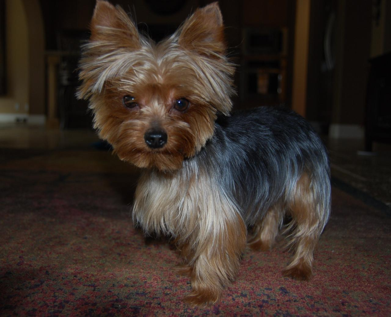 Yorkie Haircuts Pictures And Select The Best Style For Your Pet Pictures to pin on Pinterest