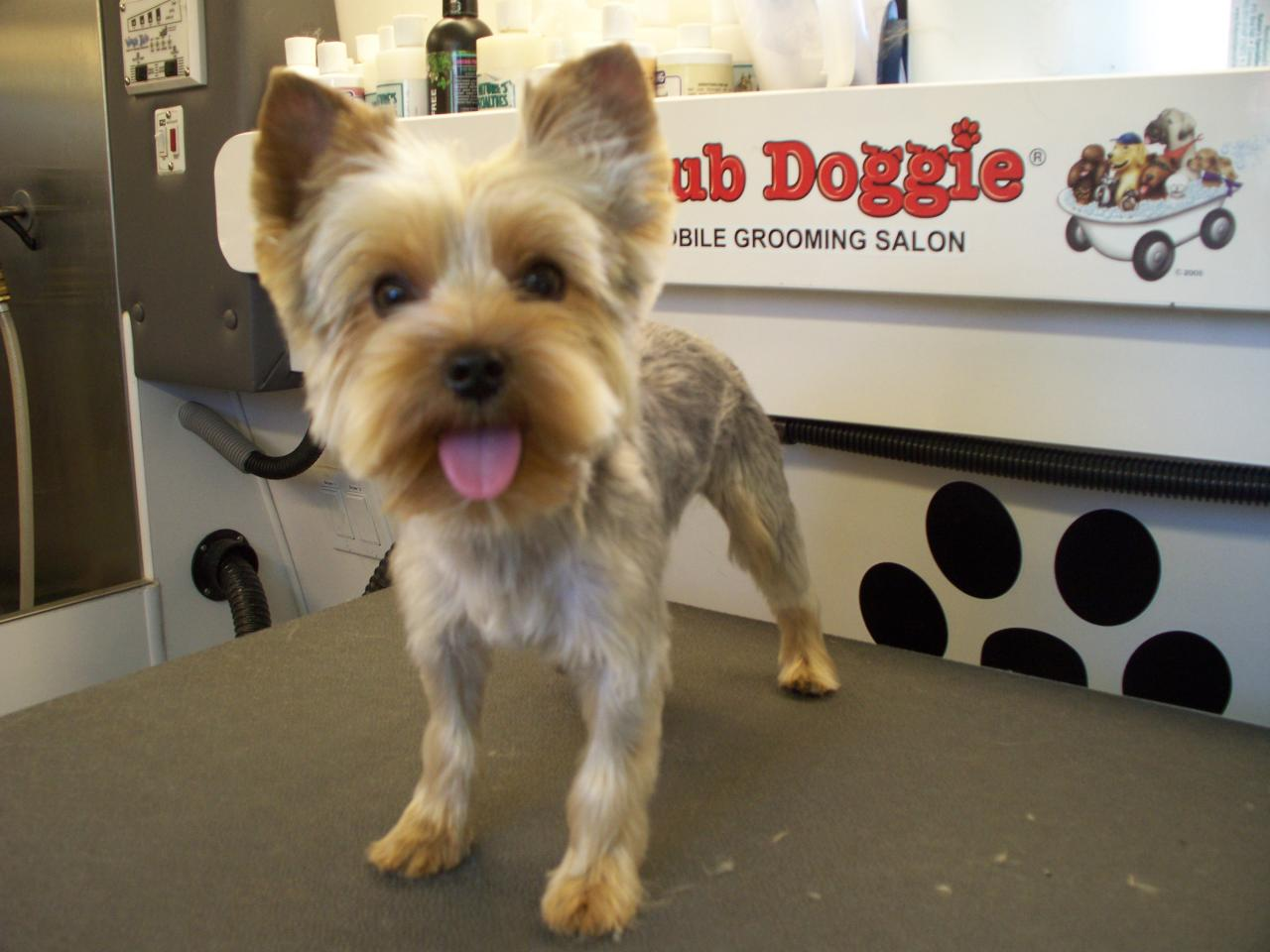 Image result for morkie adult dog haircut