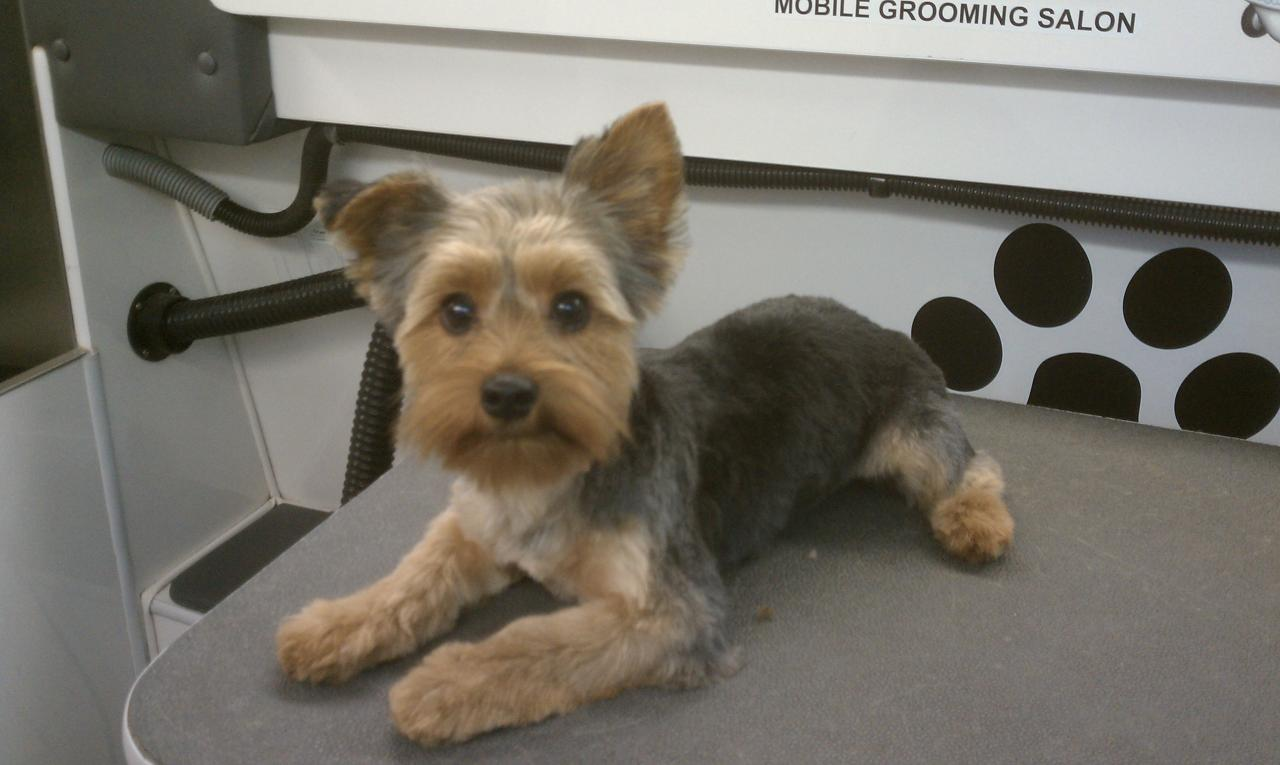 Yorkshire Terrier Short Hair CutsYorkshire Terrier Puppy Haircuts